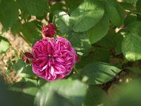 Une rose, un jour : La rose des peintres