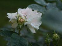 Une rose, un jour : Cuisse de nymphe