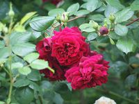Rose/Rouge/Pourpre