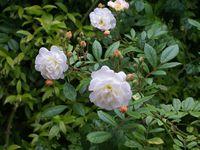 Une rose, un jour : Ghislaine de Féligonde