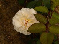 Une rose, un jour : Gruss an Aachen