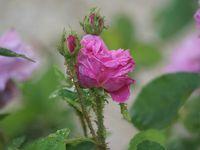 Une rose, un jour : Salet