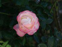 Une rose, un jour : La garçonne
