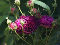 Une rose, un jour : Charles de Mills