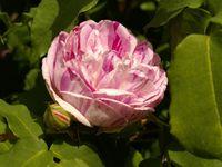 Une rose, un jour : Gros Provins panaché