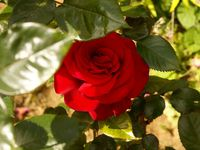 Une rose, un jour : Le grand huit
