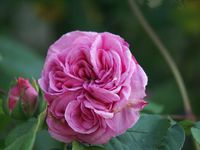 rose anglaise teasing georgia, gypsy boy, sophy's rose, rose anglaise james galway, benoîte, mme isaac pereire