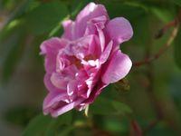 sophy's rose- rose de l'hay- petite renoncule violette- clémentina carbonieri- petite renoncule violette- gros provins panaché- olivet- sophy's rose- gypsy boy