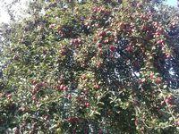 Pommes ... (en hommage à mon père)