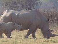 Khama Rhino Sanctuary...comme son nom l'indique.