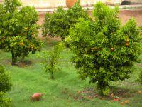 Les orangers dans le jardin