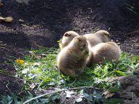 Les chiens de prairies étaient trop mimi !