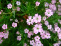Gypsophile repens: vivace de 10 cm de hauteur, ses fleurs donnent l'impression de legereté.