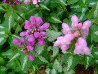 Lamier : joli couvre-sol&#x3B; elle fait partie également de la famille des lamiacées. coloris différents , rose, violet et jaune.
