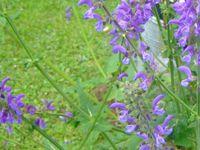 Sauge des prés : salvia Prentis, c'est une sauge que j'ai récuperé dans un pré &#x3B; elle s'est bien adaptée dans le terrain, sa fleur est particulière à la famille des lamiacées.