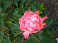 Je regarde une rose et je suis apaisé(Victor Hugo) Nos roses