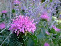 monarde rose avec pérovskia , attention, cet arbuste a pour habitude d'envahir tout l'espace .