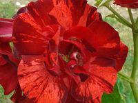 Des roses bicolores ou bigarrées .....