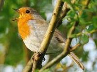 Le chant des oiseaux de chez nous