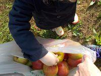 la cueillette, miam, conservé les pommes dans le noir sur l'envers!