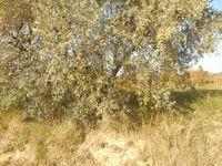 Beaucoup d'oliviers dans la plaine du Barroux qui domine depuis son éperon rocheux.