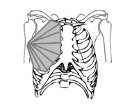 Le grand dorsal, le grand pectoral, le deltoïde  (Illustrations extraites de Physiologie et art du chant. Ed. Alexitère.)