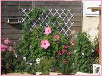 antémis blanc en fleur, des ipomées guidées sur du bambou à ma façon ! mon lin bleu en fleur durant tout l'été, l'hibiscus avec ses fleurs géantes, tout pousse à merveille
