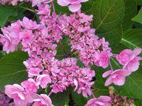Toutes les variétés d'hortensias et d'hydrangeas cohabitent