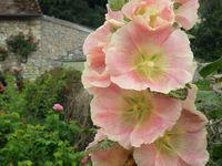 Très jolies roses trèmières