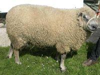 Béliers Mouton de l'Avranchin, Cotentin et Roussin de la Hague, nos 3 races locales (source : site de la Chambre d'Agriculture de la Manche). Joyaux de notre terroir, le Mouton de l'Avranchin et le Cotentin sont en voie d'extinction !