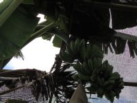 Bali: Le jardin de Thé (Jour 2)
