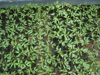 fèves en fleurs , puntarelle ( chicorées récolte depuis novembre )  petits godets de tomates  en serre , prunier en fleurs (toujours taillé en été en boule
