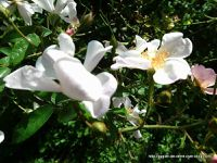 Le piment s'éclate parmi les roses finissantes