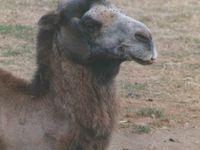 Des animaux que nous connaissons: chevaux, chameau, loup et zèbre, entre autres...