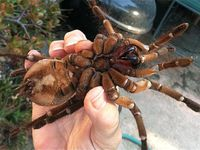L'araignée la plus grosse du monde : Araignée Goliath ou Mygale de Leblond, Theraphosa Blondi, une mygale