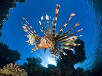 Animaux les plus mortels au monde : Poisson Lion, Pterois Volitans ou Rascasse volante  7e partie