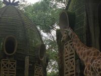 [La vie secrète des girafes] Postcards from the Zoo
