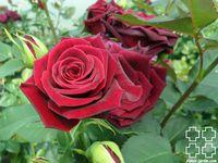 b9. Les rosiers en B. de Bl. à Bo.