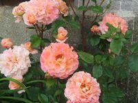 b9. Les rosiers en F. de Fk à Fra.