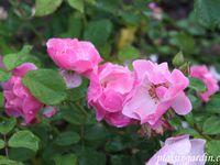 b9. Les rosiers en P. de Par à Pb.
