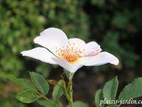 Le rosier 'Jardins d'Aywiers'