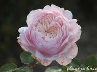 b9. Les rosiers en L. de Lo à Lu