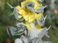 Le Verbascum bombyciferum 'Arctic Summer'