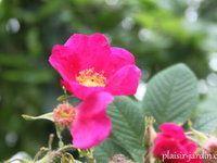 b9. Les rosiers en V. de Ves. à Vz.
