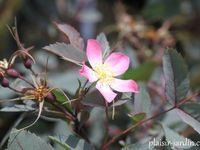 'Doncasteri' - 'Elie's rose' - glauca