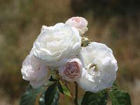 'Neige d'été' - 'Pierre Bonnard' - 'Pink Magic'