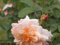 'Port Sunlight' - 'Prieuré de Mayanne' - 'Queen of heart'