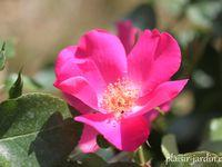 'Christopher colombus' - 'Isa11' - 'L'art des jardins' (fraichement baptisé chez F. Ducher) joliiiie