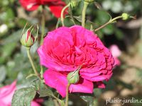 'Parfum d'Honfleur' - 'Pink Spray' - 'Princess Anne'