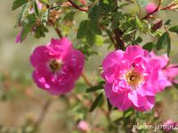 Rosa califorinca 'plena' - 'Ann Boleyn' - 'Baby bloomer'